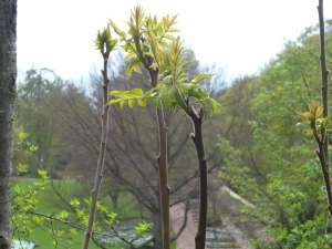 Buds and fresh leaves on top of shoots above a park