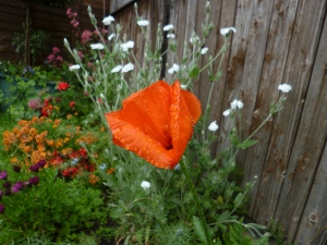 Close-up of poppy flower with dew or rain on it, above other red, orange, purple, and white flowers.
