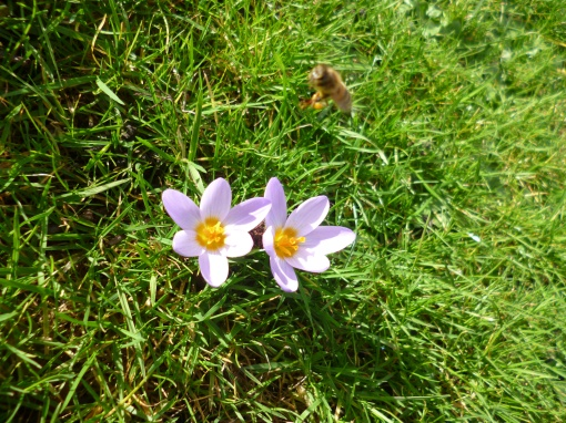 A pair of mauve crocusses, wide open, in bright sunlight, with honey-bee hovering above.