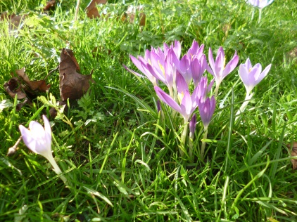 Bundle of mauve crocusses, seen fro mthe side, transparent in the sunlight.