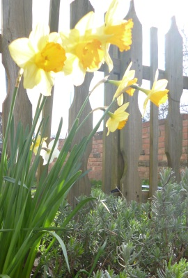 Bundle of daffodils in front of a wooden fence in bright sunlight.