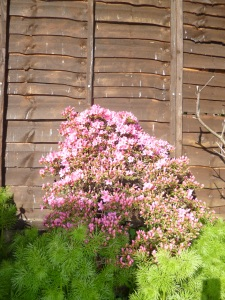 Small azalea bush with lurid pink blossom, amongst lush feathery nigella leaves.